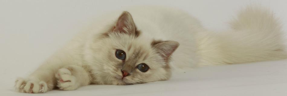 The Birman Cat Club Birman Breeders Register Uk Scotland Wales
